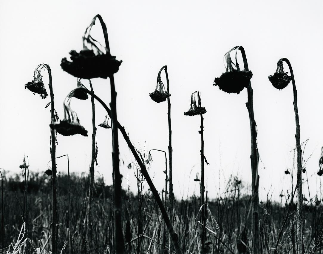 #XLV Sunflower Field 2
